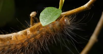 Hairy Caterpillar on branch (2 of 5) - Spilosoma is a genus of moths in the family Erebidae. This, like most Spilosoma Caterpillars, is dark and hairy. The hairs known as setae are uniformly brown and orage over the whole body,  the hairs are used as are a method of protection. It has 3 pairs of true legs, and 5 pairs of prolegs on abdomen.