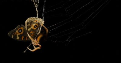 Garden Orb Web Spider - Eriophora transmarina (2 of 5) catching butterfly (Vanessa kershawi) insect in web at night.  This series of clips captures an Orb Web Spider and the process of securing a butterfly that has flown into it's web.  After the spider has been secured the butterfly in a silk cocoon it begins to take down the web.