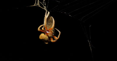 Garden Orb Web Spider - Eriophora transmarina (3 of 5) catching butterfly (Vanessa kershawi) insect in web at night.  This series of clips captures an Orb Web Spider and the process of securing a butterfly that has flown into it's web.  After the spider has been secured the butterfly in a silk cocoon it begins to take down the web.
