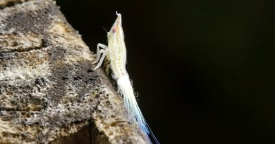 A Planthoppers nymph can secrete a waxy substance from their abdomen that results in strange, fiber optic-like tails.  These decorations serve at least three purposes: predators to second guess eating them, to help them glide as they fall and as a form of camouflage.
