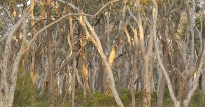 Australian Eucalyptus Tree Landscape.  'Scribbly gum' Eucalyptus haemastoma is an Australian eucalypt that is named after the 'scribbles' on its bark, also refered to as Ghost Gums, for their white trunks. the scrbbles zigzag tracks are tunnels made by the larvae of the scribbly gum moth (Ogmograptis scribula) Distribution of eucalypt is restricted to the coastal plains and hills in the Sydney Region.