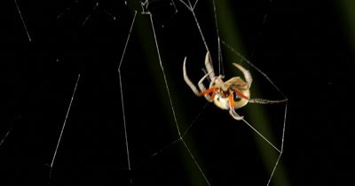 "Spider making web (2 of 3) - Garden Orb Web Spider - Eriophora transmarina. Sequence of clips shows the Garden Orb Web Spider making her 'Spiral orb web' in the early evening.  Several different types of silk may be used in web construction, including a ""sticky"" capture silk and ""fluffy"" capture silk,  during the process of making an orb web, the spider will use its own body for measurements."