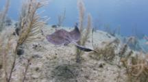 Stingray Swims Over Sandy Reef