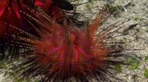 Bishop Cap Sea Urchin