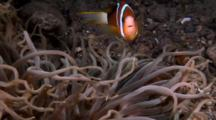 Anemone & Clownfish
