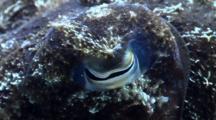 Reef Cuttlefish Detail