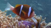Clown Anemonefish, Darting In And Out Of Anemone