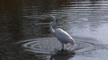 White Egret Feeding In Coastal Waters