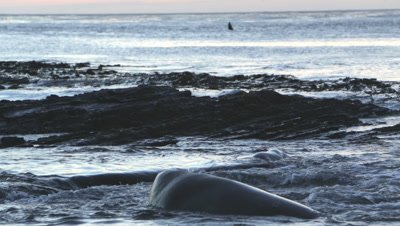Southern elephant seal looking at a killer whale at sunrise