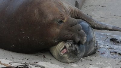 Southern elephant seal bull blocking a pup