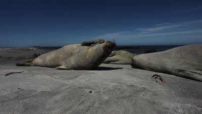 Southern elephant seal scratching