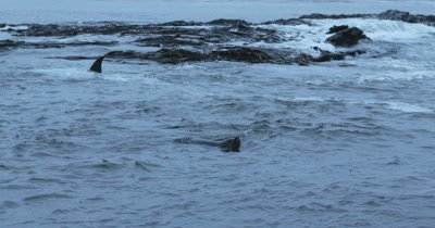 Killer Whale and Southern Elephant Seal intersecting