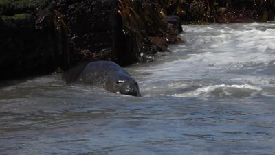 Young Southern Elephant Seal in a shallow water