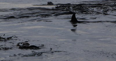 Killer Whale intersecting a young elephant seal in the kelp