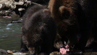 Bron Bear mother and two cubs eating salmon,Kamchatka
