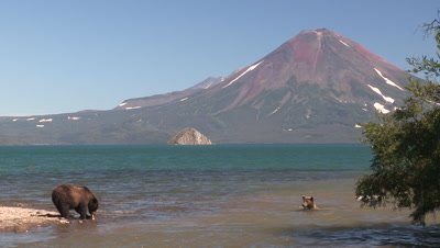 A busy river in summer,Brown Bears and salmons,Kamchatka