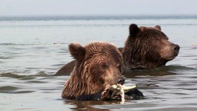 Brown Bear finishing a salmon,Kamchatka