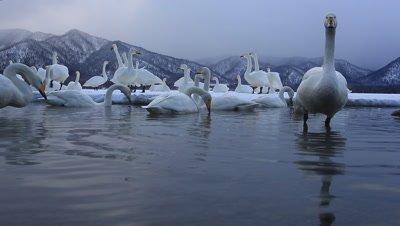Group of whooper swans singing,Hokkaido,Japan