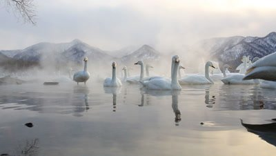 Whooper swans in the morning fog,Hokkaido,Japan