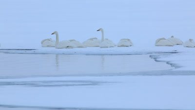 Whooper swans waking up in the morning,Hokkaido,Japan
