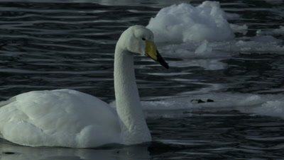 Whooper swan swimming in water and ice,Hokkaido,Japan