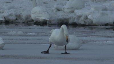 Whooper swan stuck in the ice,Hokkaido,Japan