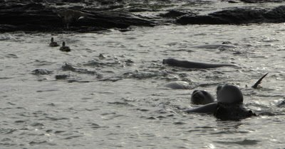 Young Southern Elephant Seals bathing in a shallow water,Falkland islands