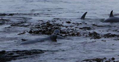 Orcas crossing a group of elephant seals,Falkland islands