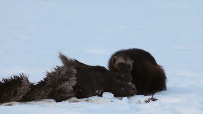 Wolverine eating dead moose,Finland