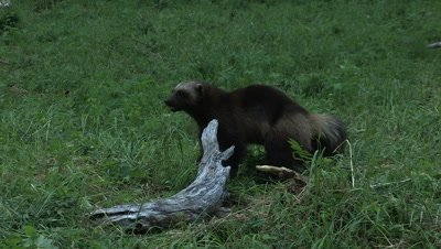 Wolverine playing with a dead wood,summer in Finland