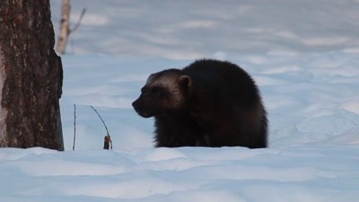 Wolverine eating in the snow,Finland
