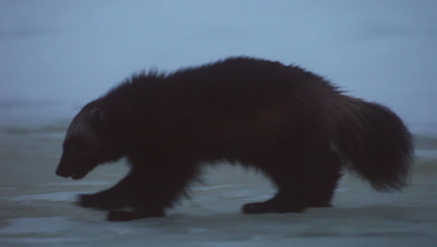 Wolverine walking on the ice,Finland