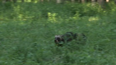 Wolverine running with a piece of meat,summer in Finland