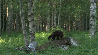 Wolverine finding food,summer in Finland