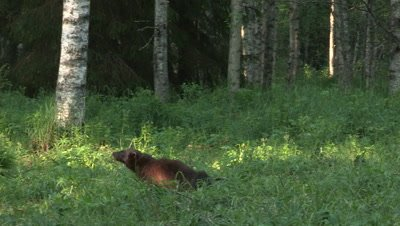 Wolverine making its mark,summer in Finland