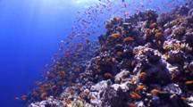 Anthiasfish On Reef, Sun Rays Through Water
