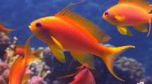 Close Up Oman And Lyretail Anthiasfish On Coral Reef