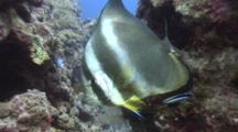 Orbicular Batfish With Cleaner Wrasse