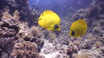 Masked Buttefly Fish Pair