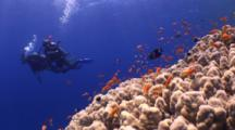 Schooling Anthiasfish On Huge Dome Coral With Divers