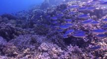 Red Sea Fusiliers Schooling Over Coral Reef