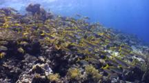 School Of Red Sea Goatfish Schooling Over Beautiful Coral Reef