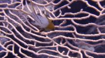 Close Up Of Juvenile Lyretail Hogfish To Wide Angle Of Magnificent Gorgonian Sea Fan