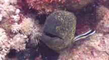 Close Up Of Yellowmargin Moray Eel With Cleaner Wrasse