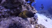 Yellowmargin Moray Eel Disappear Into Hole, Scuba Divers In Background