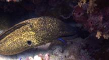 Yellowmargin Moray Eel With Cleaner Wrasse On Coral Reef
