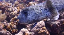 Porcupinefish With Cataract And Cleaner Wrasse, Circling Over Coral Reef