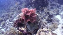 'dolly Zoom' On Spanish Dancer Egg Cluster On Coral Head
