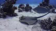 Wide Angle Shot Of Bluespotted Stingray In Strong Current Swimming Over Sandy Bottom And Coral Heads In Strong Current. Ray Then Buries Itself.