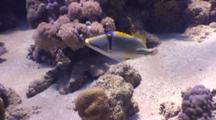 Wide Angle Of A Pair Of Picasso Triggerfish. One Attacking Camera.